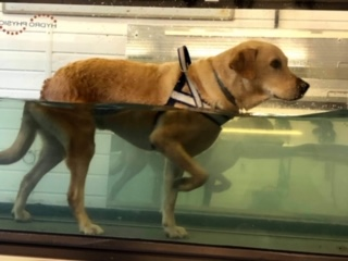 Boris using the underwater treadmill